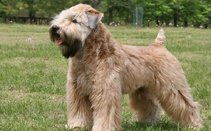 Soft Coated Wheaten Terrier history and behavior