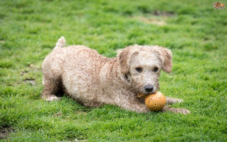 Spanish Waterdog Playing In The Field
