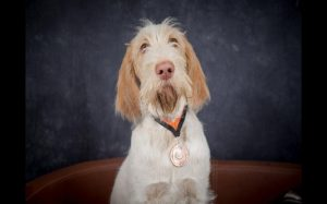 Spinone Italiano Are Pointing Breeds