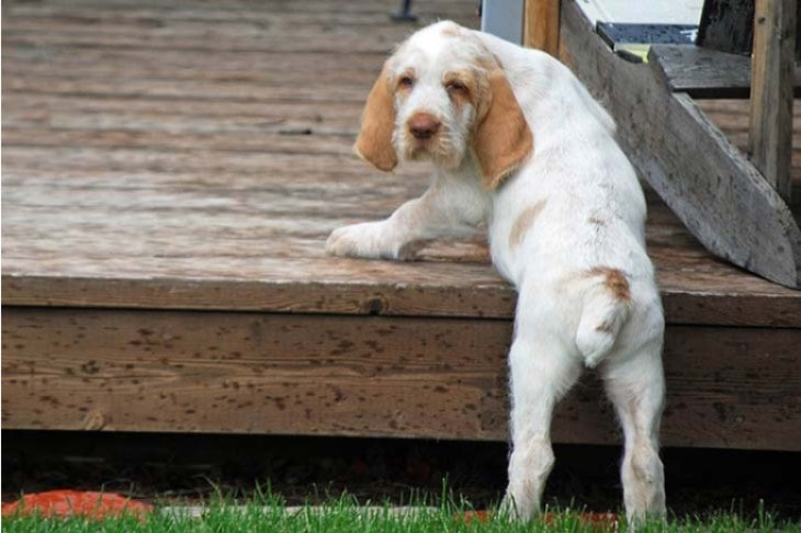 Spinone Italiano Dos Trying To Climb Stair