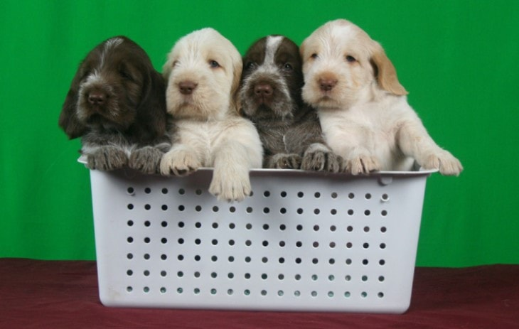 Spinone Italiano Puppies Require early Training