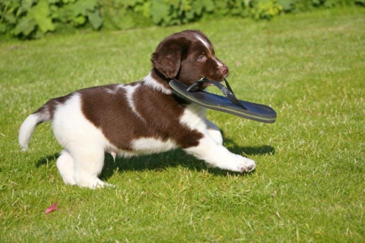 Stabyhoun Puppy Running