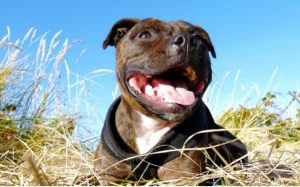 Staffordshire Bull terrier Is A Popular Breed In U.K.