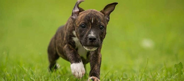 Stafforshire Bull Terrier Are Very Playfull