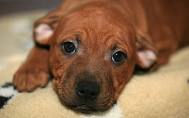Staffordshire Bull Terrier Need Early Socialization