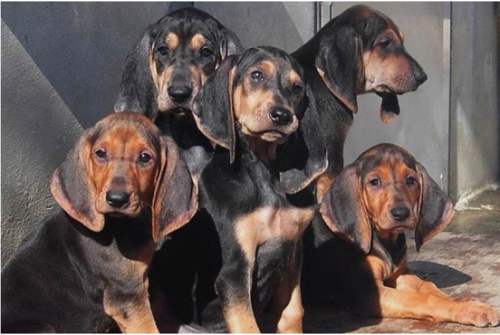 Segugio Italiano Puppies Are Very Affectionate