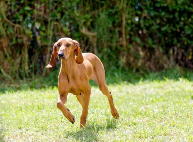 Segugio Italiano Dogs Are Very Playful