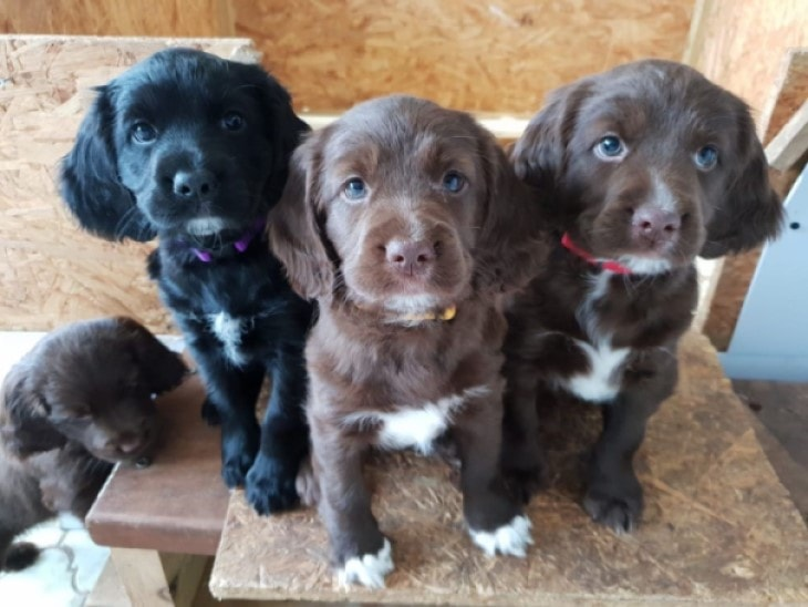 Sussex Spaniel Puppies Are Very Calm