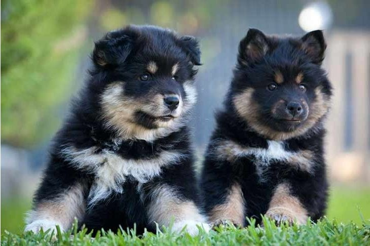 Swedish Lapphund Puppies Require Early Training