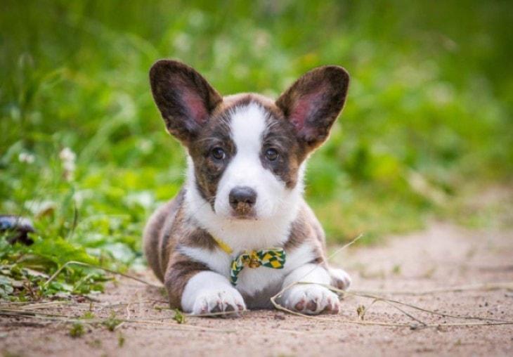 Swedish Vallhund Require Early Training