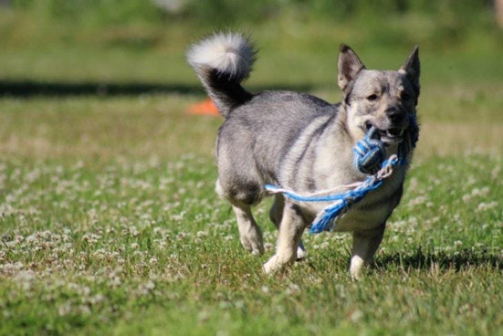 Swedish Vallhund Are Independent Thinker