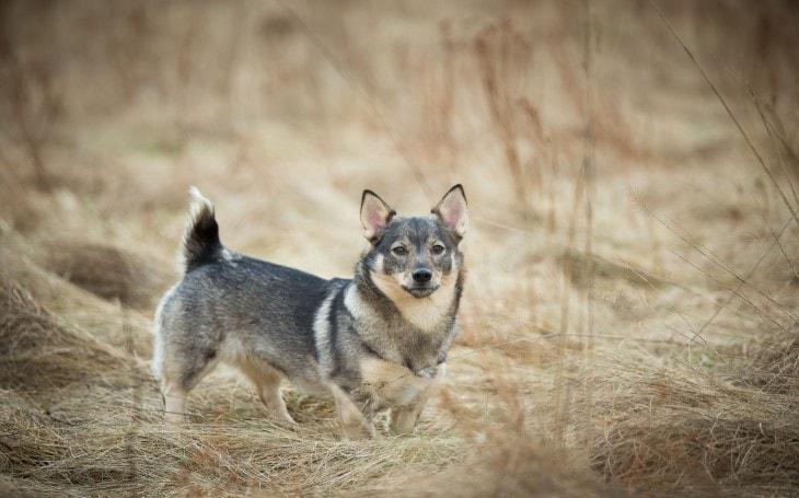 Swedish Vallhund Were Known As Viking Dogs