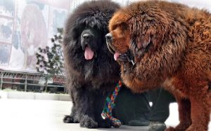 Tibetan Mastiff history and behavior