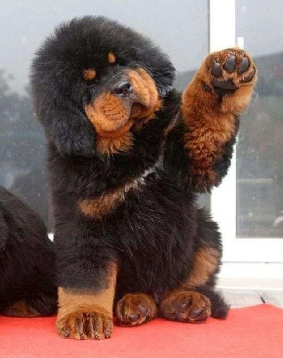 Tibetan Mastiff puppy cost