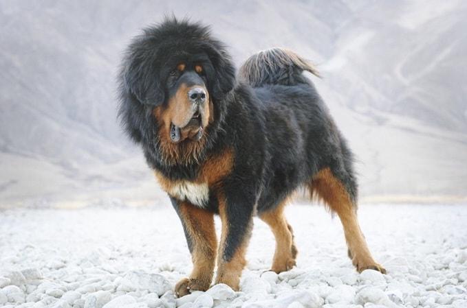Tibetan Mastiff which is similar to Romanian Mioritic Shepherd