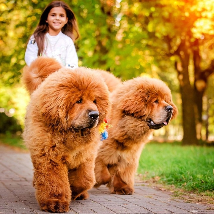 Tibetan Mastiffs does well with well behaved older children