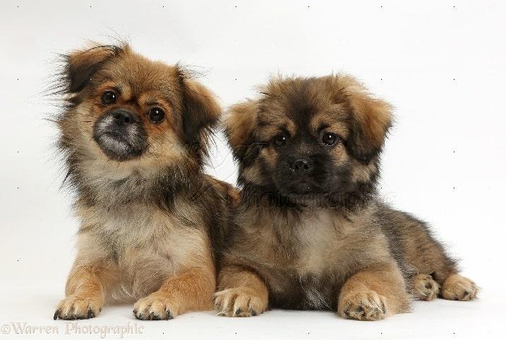 Tibetan Spaniel Puppies cost