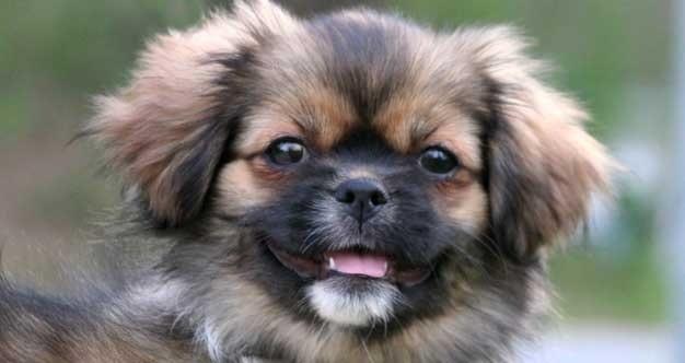 Tibetan Spaniel Puppy cost