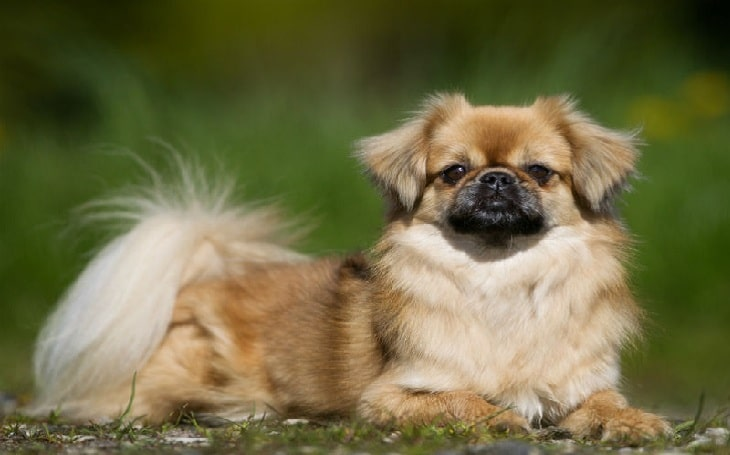 Tibetan Spaniel history and behavior