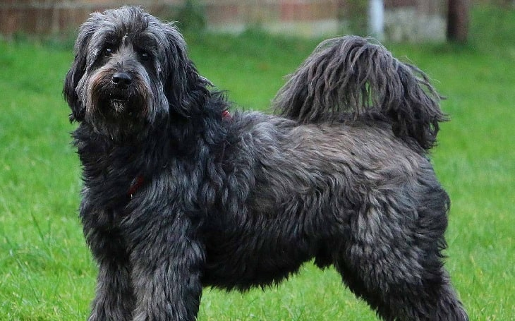 Tibetan Terrier history and behavior