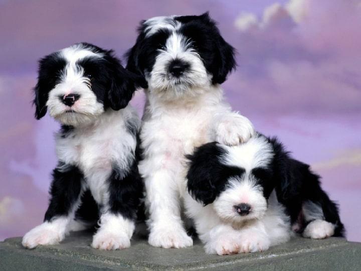Tibetan Terrier puppy cost