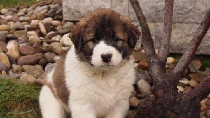 Tornjak puppy cost