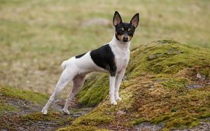 Toy Fox Terrier history and behavior