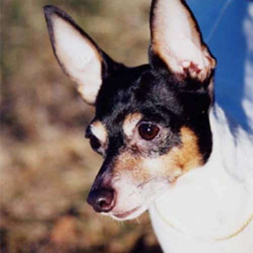 Toy Fox Terrier History