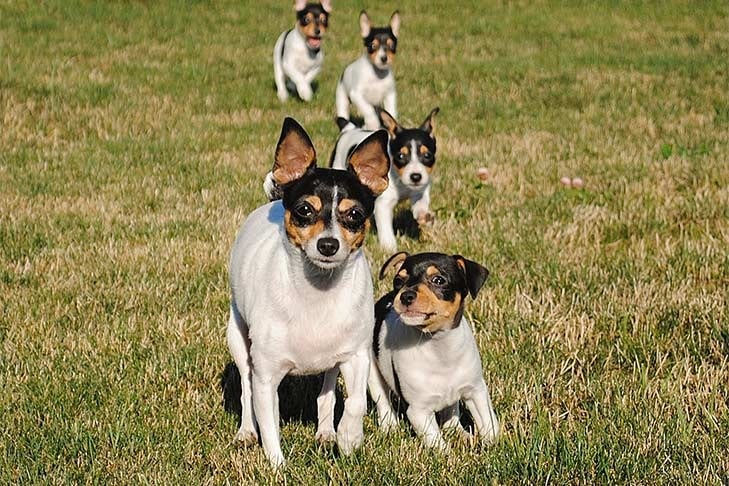 Toy Fox Terrier puppy cost