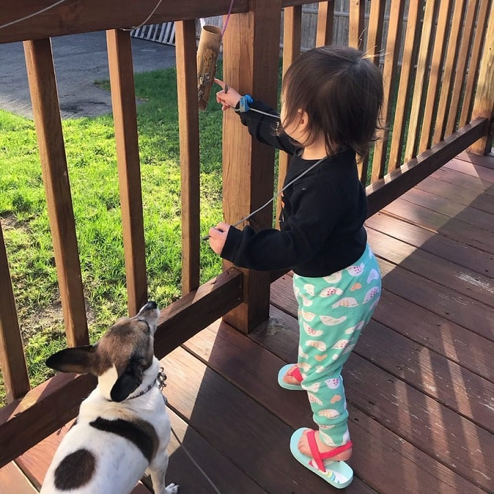 Toy Fox Terrier get well with older children