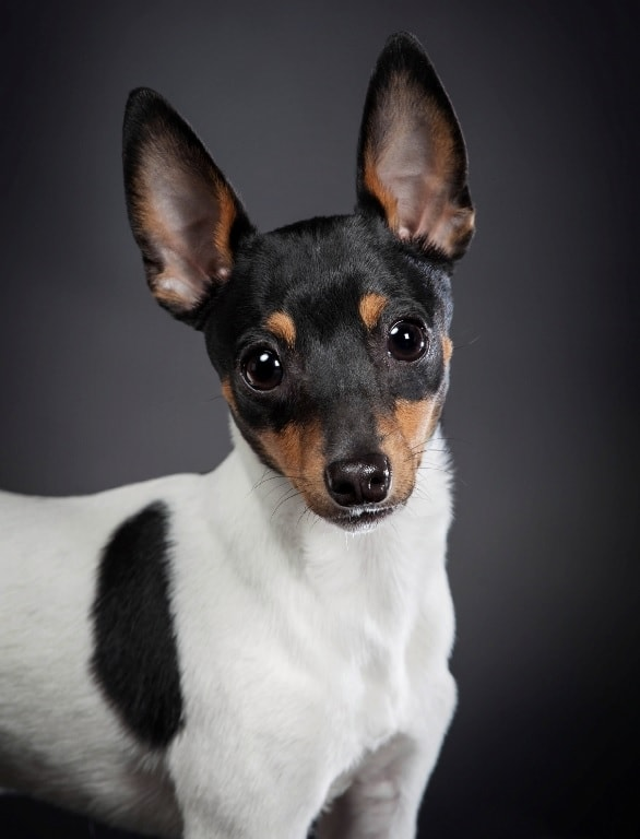 Toy Fox Terrier which similar breed to Smooth Fox Terrier
