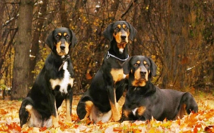 Transylvanian Hound behavior and history