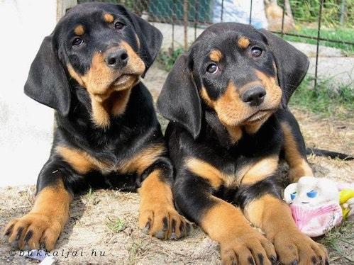 Transylvanian Hound puppy cost