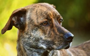 Treeing Tennesse Brindle history and behavior