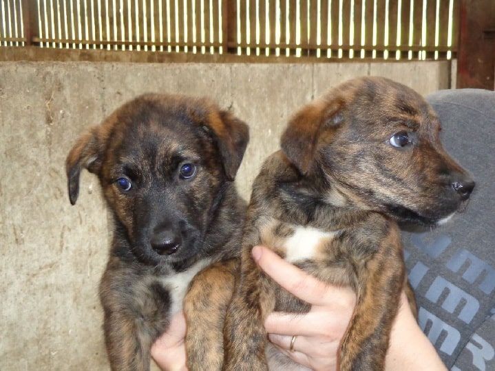 Treeing Tennesse Brindle Puppy cost