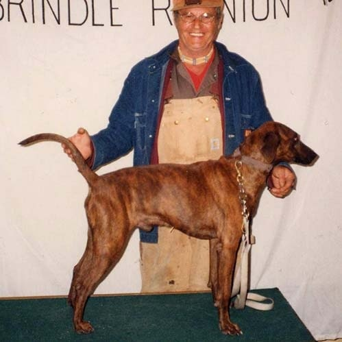 All About Treeing Tennessee Brindle Dog Breed – Origin, Behavior