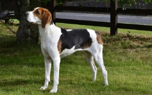 Treeing Walker Coonhound History and Behavior