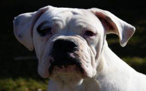 Valley Bulldog history and behavior