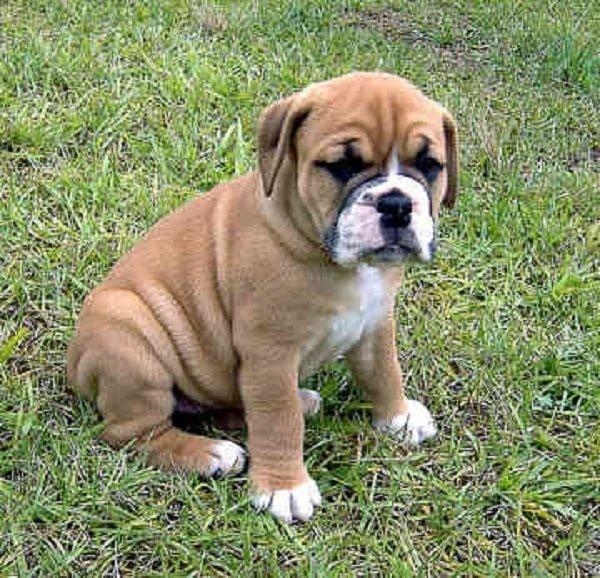 Valley Bulldog puppy cost