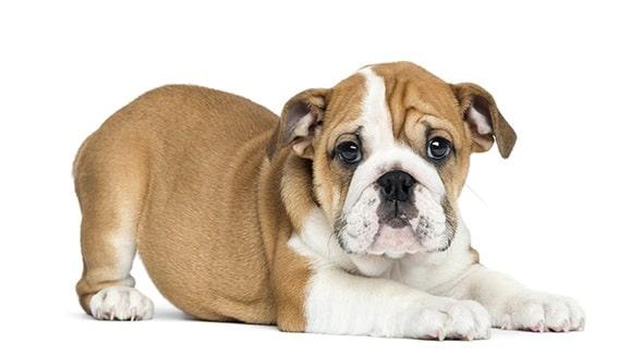 Victorian Bulldog Puppy cost