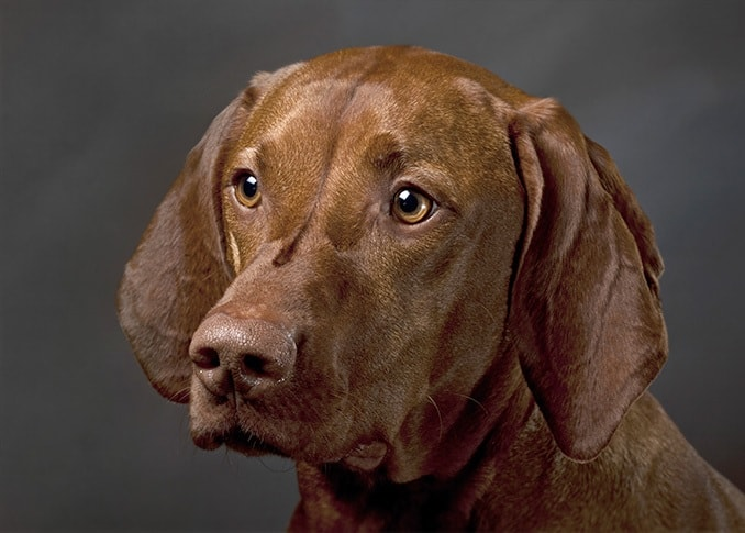 Vizsla dog which is similar to Slovakian Wirehaired Pointer