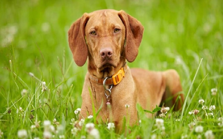 Vizsla history and behavior