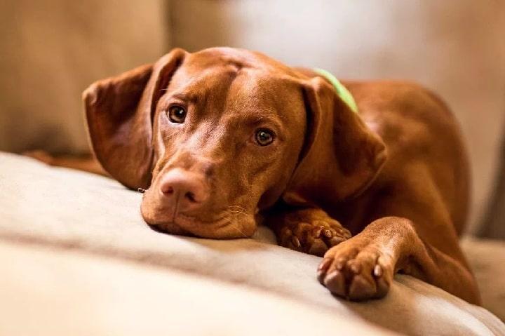 Vizsla Puppy cost