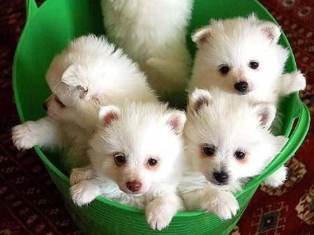 Volpino Italiano Puppy cost