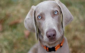 Weimaraner history and behavior