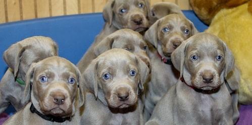 Weimaraner Puppy cost
