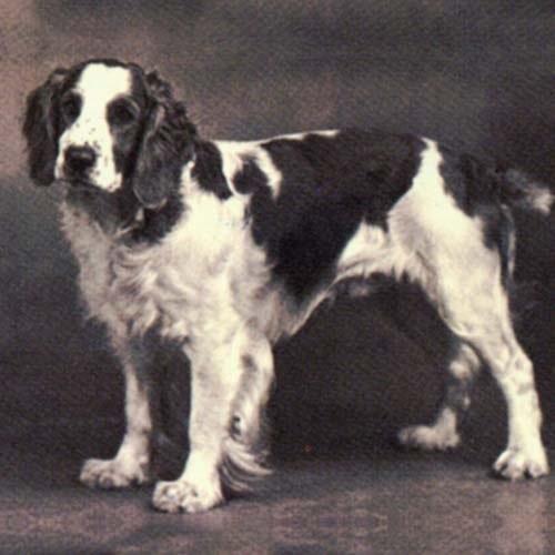 Welsh Springer Spaniel history