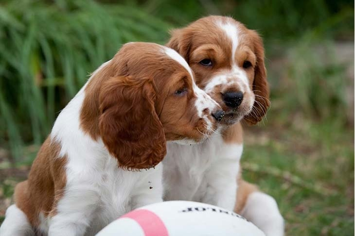 Welsh Springer Spaniel puppy cost