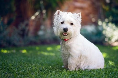 West Highland White Terrier which is similar to Skye Terrier