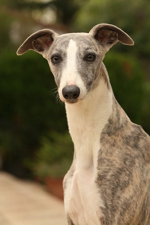Whippet which is similar to Peruvian Inca Orchid